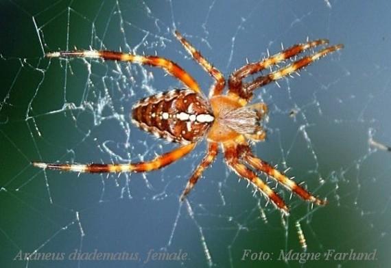 Araneus diadematus 13